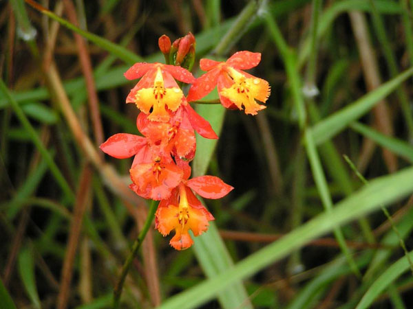 Epidendrum radicans@Dave Griffiths